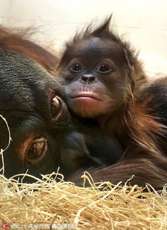 美动物园猩猩宝宝小眼神萌化