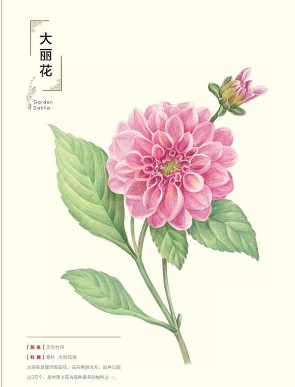 极乐鸟的植物铅笔画图片