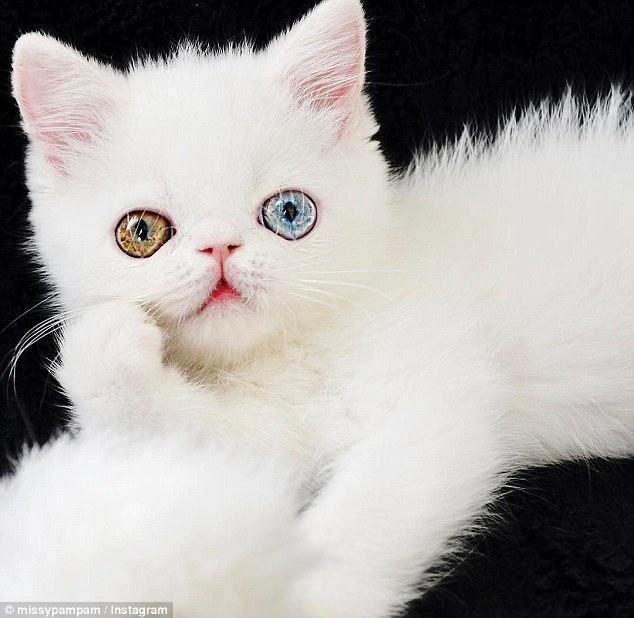 国外蓝绿异瞳猫咪走红网络 小巧可爱惹人怜
