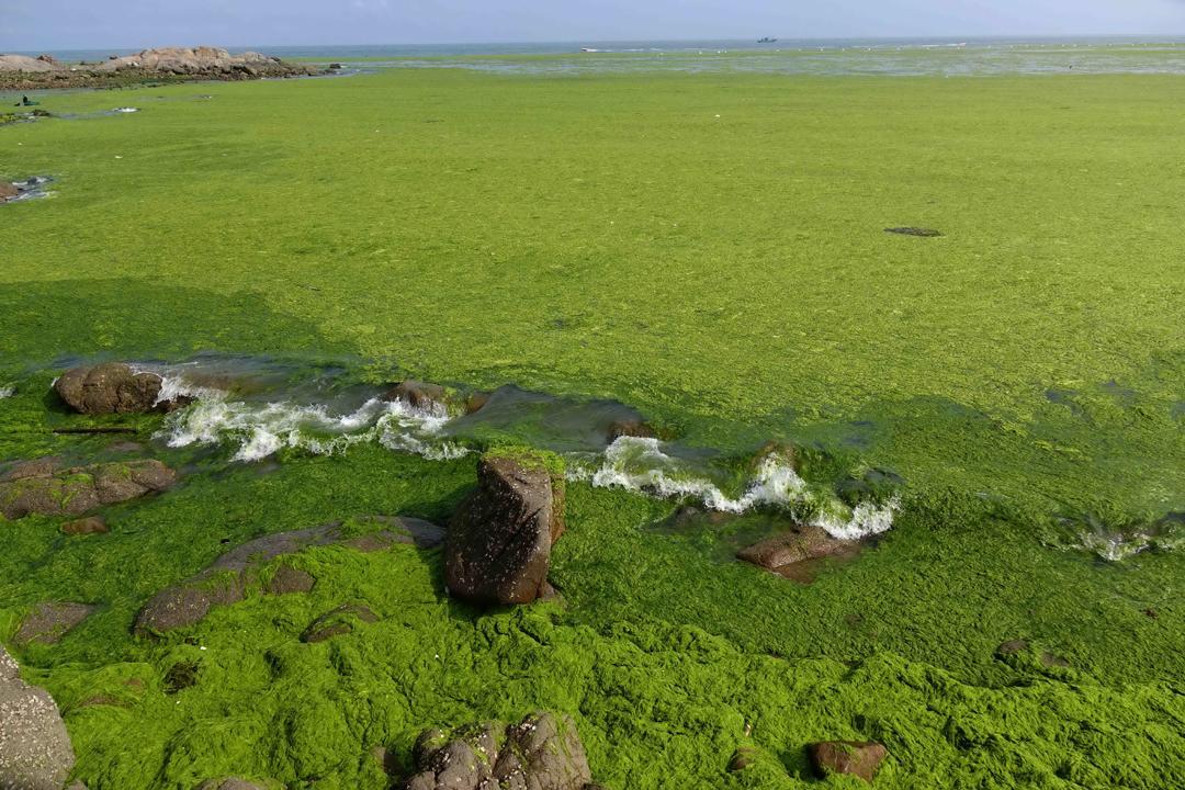 每年的6月中旬到8月立秋前后,青岛均会受到不同程度浒苔绿潮的侵扰.