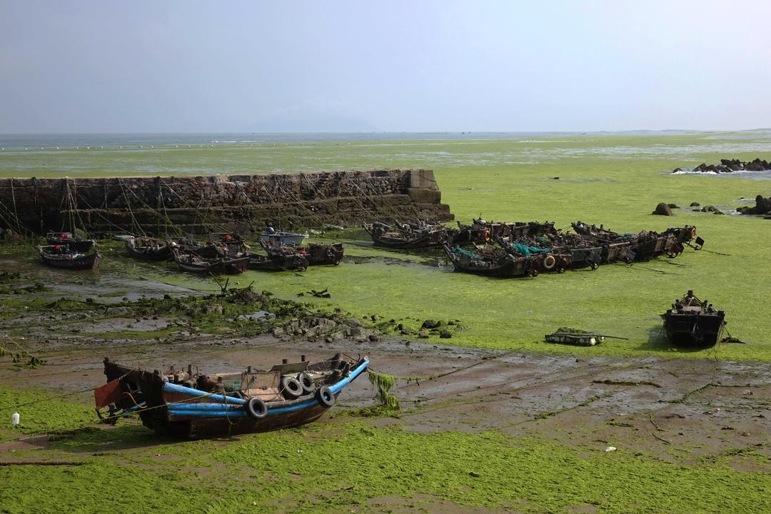 每年的6月中旬到8月立秋前后,青岛均会受到不同程度浒苔绿潮的侵扰