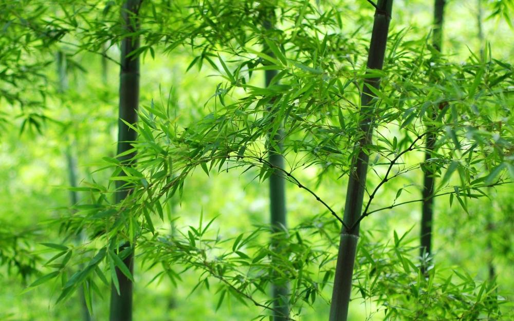 绿色护眼竹子清新图片桌面高清壁纸
