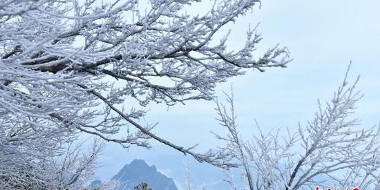 张家界天门山迎今冬首场雾凇 玉树琼枝晶莹剔透