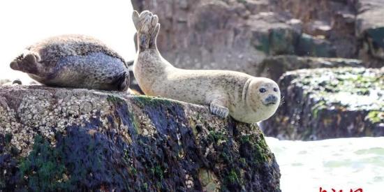 野生斑海豹洄游长山列岛 观豹好时节