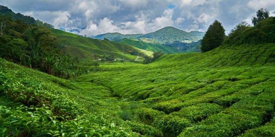 绿油油的茶园小清新风景摄影图片