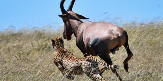 生死时速!肯尼亚羚羊毫米之差从猎豹口中逃生