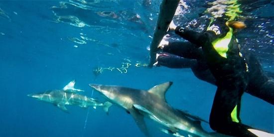 自相残杀?南非摄影师拍到黑鳍鲨似吞食同类