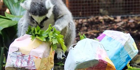 """小动物提前过复活节 吃货狐猴""""猴急""""拆礼物"""