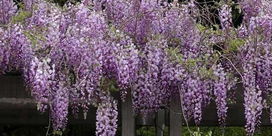 北京陶然亭公园紫藤花开 如紫色瀑布尽显浪漫