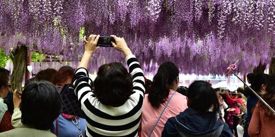 上海嘉定紫藤园紫藤花绽放 紫色花海醉游人