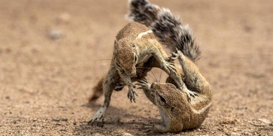 非洲两小松鼠摔跤打斗 姿势仿佛柔道动作