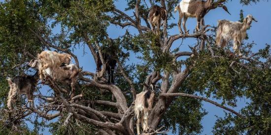 """骗局?摄影师揭摩洛哥""""羊上树""""自然奇观背后真相"""