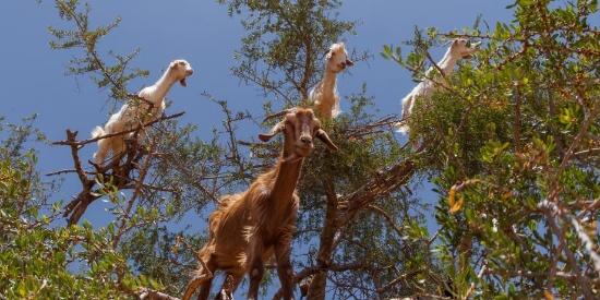 """摄影师揭摩洛哥""""羊上树""""自然奇观背后真相"""