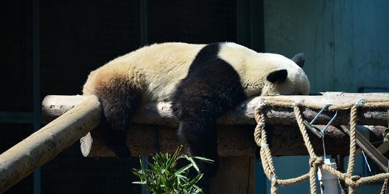 """萌到昏过去 北京雨后大熊猫卧趴木头上晒太阳""""补钙"""""""