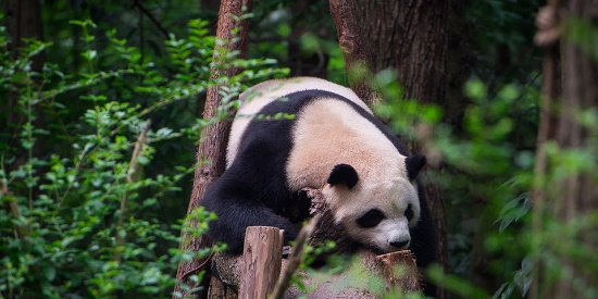 """成都最高温破35℃ 熊猫也热""""瘫""""了"""