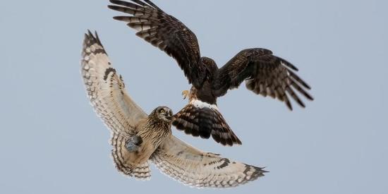 白尾鹞和猫头鹰为抢食空中大战 结果到手田鼠掉了