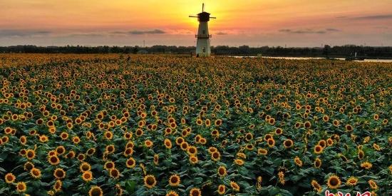 航拍江苏白马湖畔1500亩向日葵 迎风绽放美不胜收