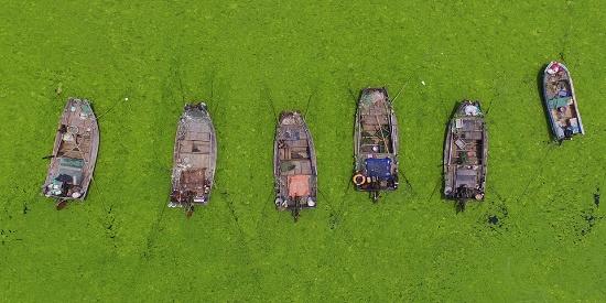绿潮全面爆发 青岛设三道防线处置浒苔
