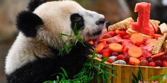 """华南首只大熊猫子二代""""隆仔""""迎周岁生日"""
