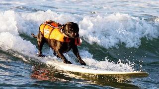 动物消暑大作战!个个都是游泳冲浪高手