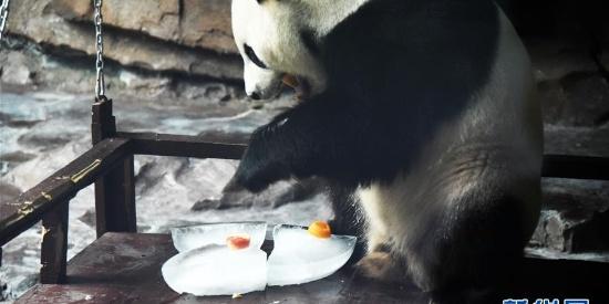 大熊猫:空调房里乐享清凉一夏