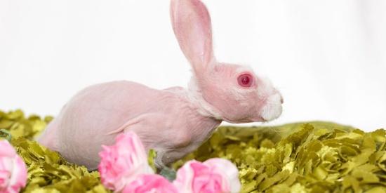 粉红萌兔因罕见病症天生无毛 成小网红人气爆棚