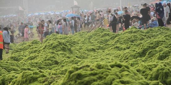 浒苔入侵青岛沙滩变草原 游客调侃洗海澡免费看草原