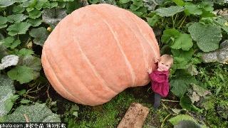超级大南瓜!英国园艺师种出900多公斤的南