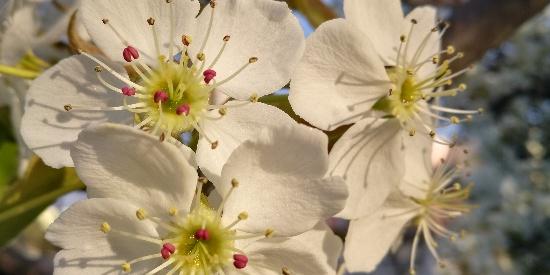 一花一木一世界,梨花