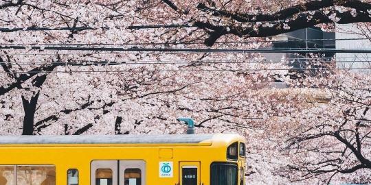 日本开着最美的樱花