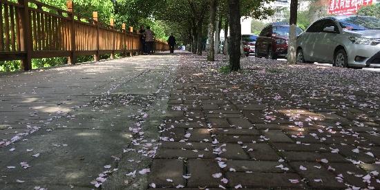 踏行在樱花花瓣上,有一种浪漫的气息