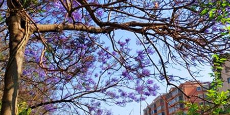 昆明盘龙江边的蓝楹花,在清清的江水和蓝天映衬下更加漂亮