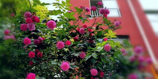 蔷薇之恋,4月,广元最美的街景!