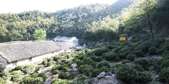 安徽九华山翠峰寺:谷雨前采茶忙