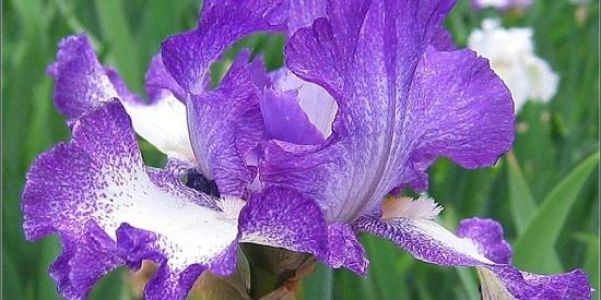 """公认最好看的花,图一是""""蓝色妖姬"""",图四用酒吞服会使人发笑"""