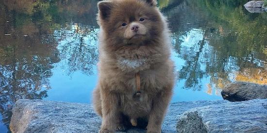 一只被人从救助力站收养来的棕色网红博美犬图集未完待续…