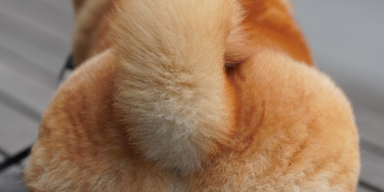 汪星人中可能威胁到哈士奇王者地位的宠物狗狗柴犬图集