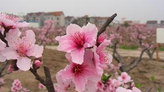 2006,上海南汇桃花村(8)