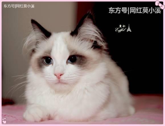 一只布偶猫猫能卖到两万多,你见过吗,我被惊到了