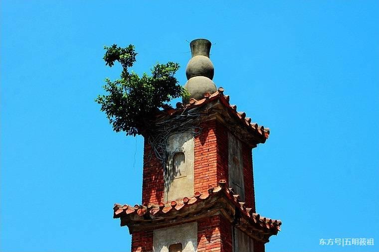 福建近四百年古塔上长树 曾是郑成功读书之所