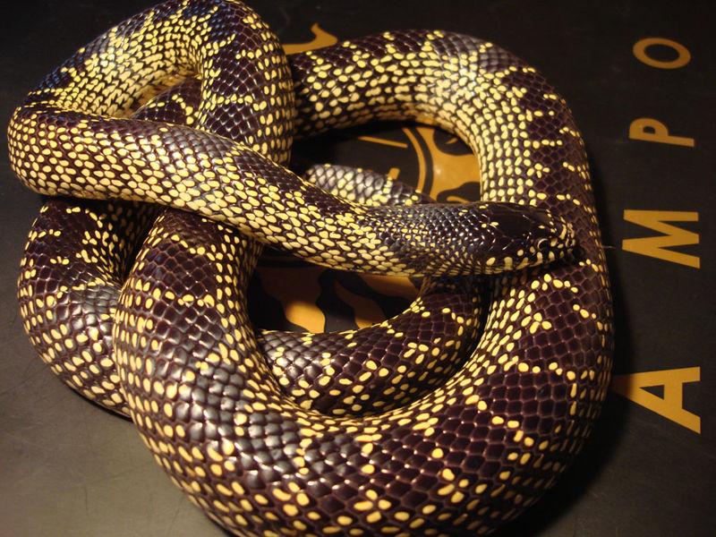 长相超萌又胆小的无毒蛇,小青你怎么变宠物蛇了