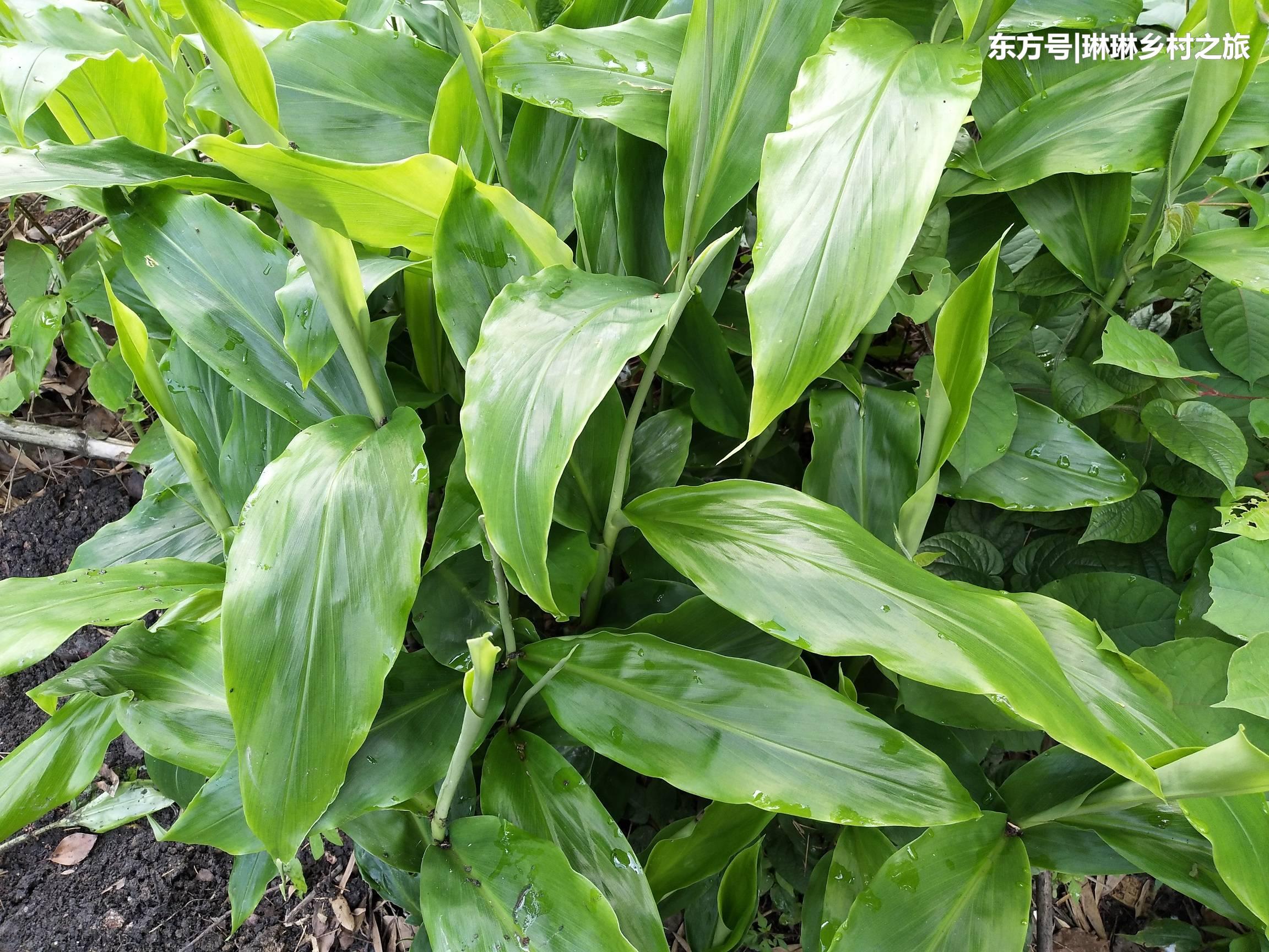 山姜的茎叶有点像生姜,但是比生姜的叶片要大很多.图片